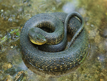 Mississippi_Green_Water_Snake